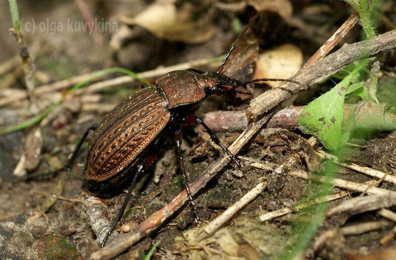 Жужелица решетчатая (Carabus cancellatus)
