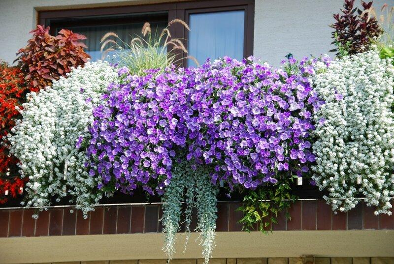 Вербена цветы  floretsru