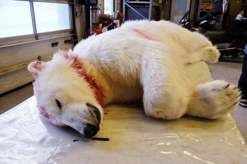 Белый медведь напал на туриста во время солнечного затмения