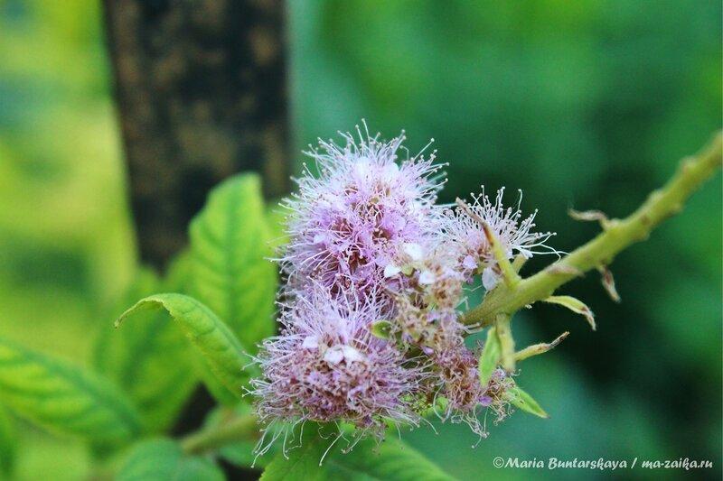 Подскажите, что это за цветок? Саратов, Большая Казачья, 30 июня 2013 года