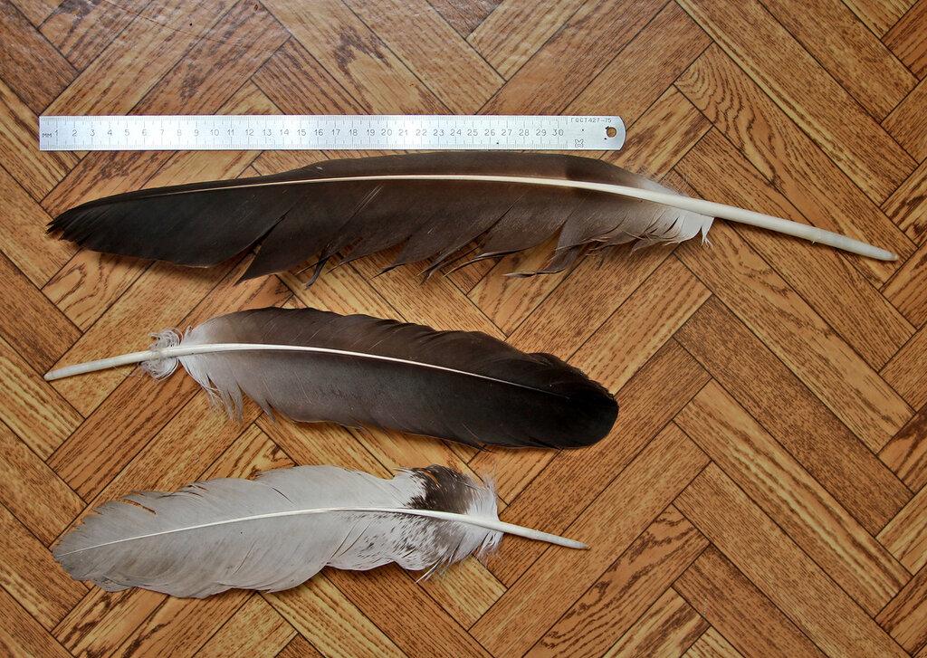 Перья орлана