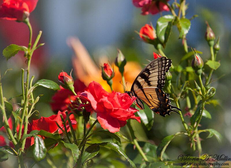 Бабочка в розах и лилиях-0004-Viktoria Mullin