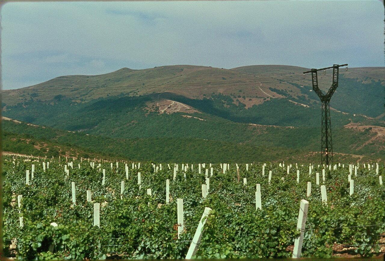 Виноградник возле Кабардинка
