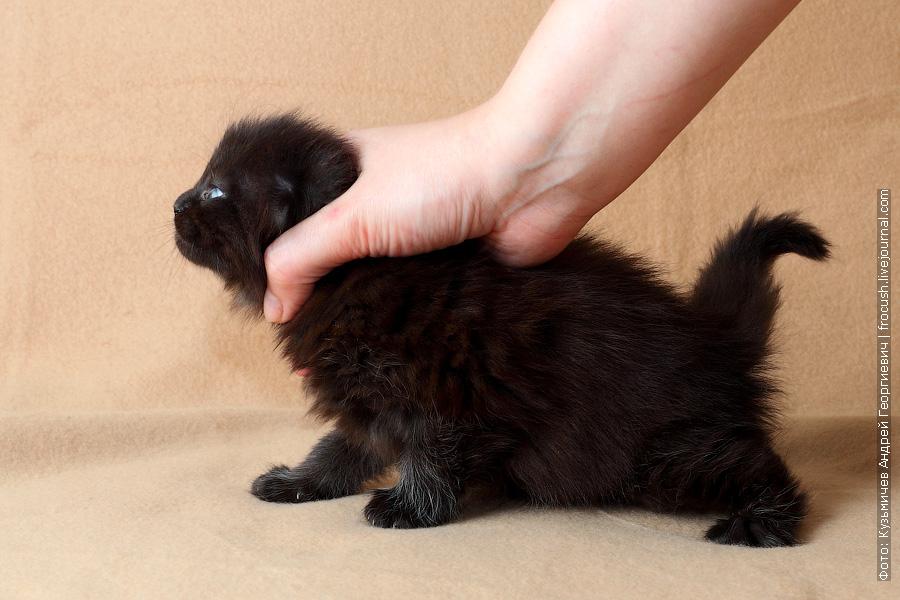 1 месяц котенок мейн кун
