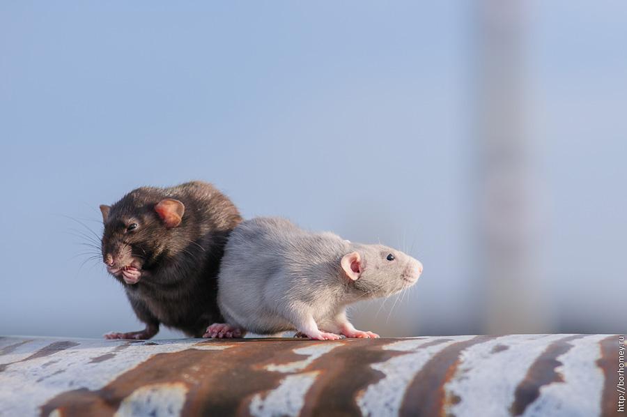 фотография крысы дамбо