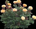 Holliewood_RoseIsARose_RoseBush1.png