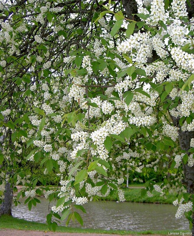 Черёмуха цветёт - 25 мая 2006 г.
