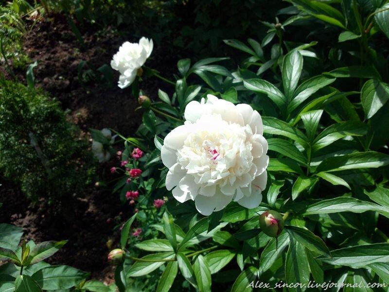 Подмосковные дачные цветы