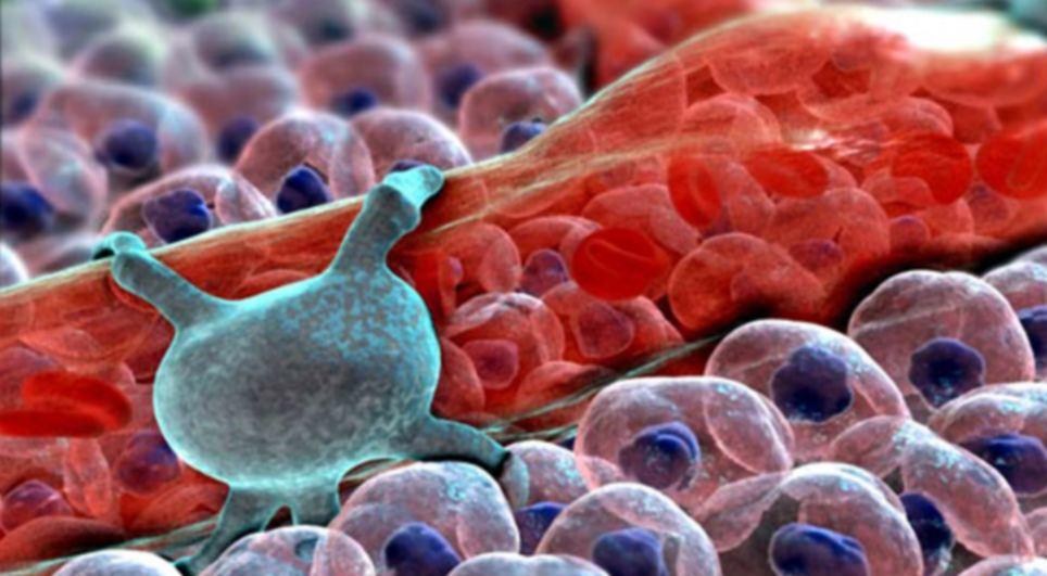 """9. Кровеносный капилляр и его  """"обслуживающий персонал """" - перициты (на снимке зелёного цвета) ."""