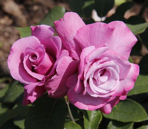 Роза чайно-гибридная Аметиста (Ametista) Barni 1985 Посадка май 2013