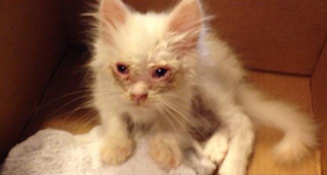 Спасенный котенок превратился вогромный пушистый шар (11 фото)