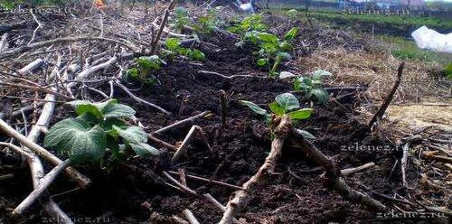 А вот так наша рассада картофеля выглядит уже в поле.