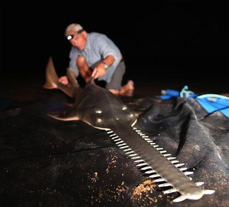Блоги. 20 самых удивительных речных рыб. длину, может, достигать, который, метра, пираньи, пойманная, вырастает, вырастать, части, более, метров, угорь, большой, хвоста, крупнейшая, весом, рыбка, Ориноко, особь