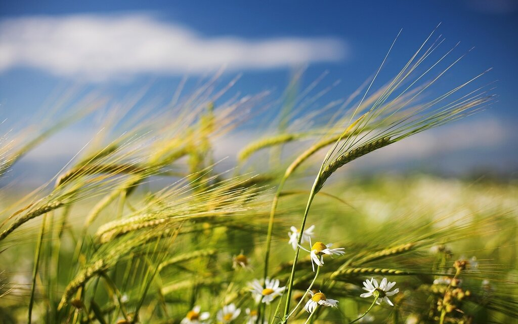 nature-flowers-fields-wheat-wide.jpg
