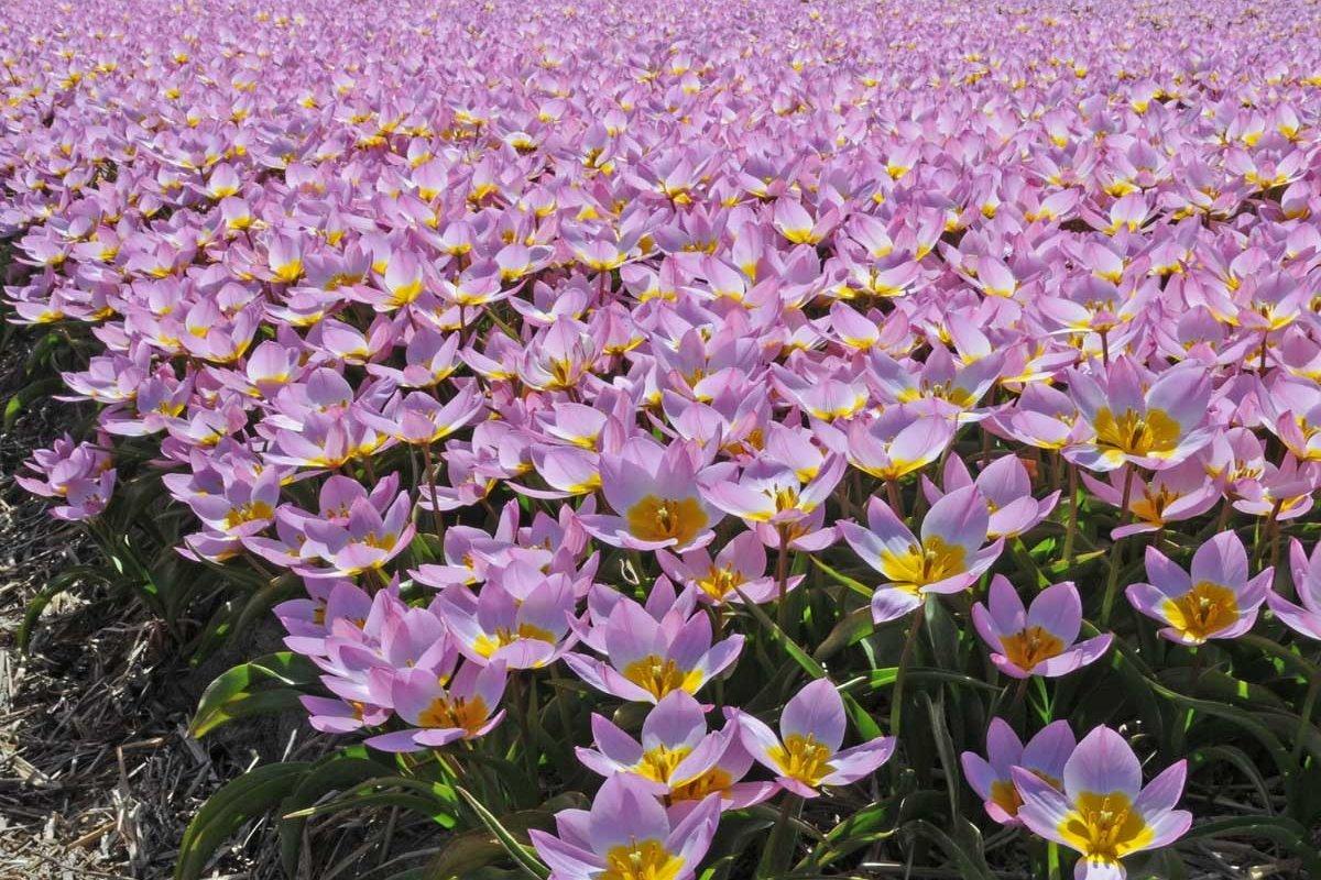 Выгонка тюльпанов к марту
