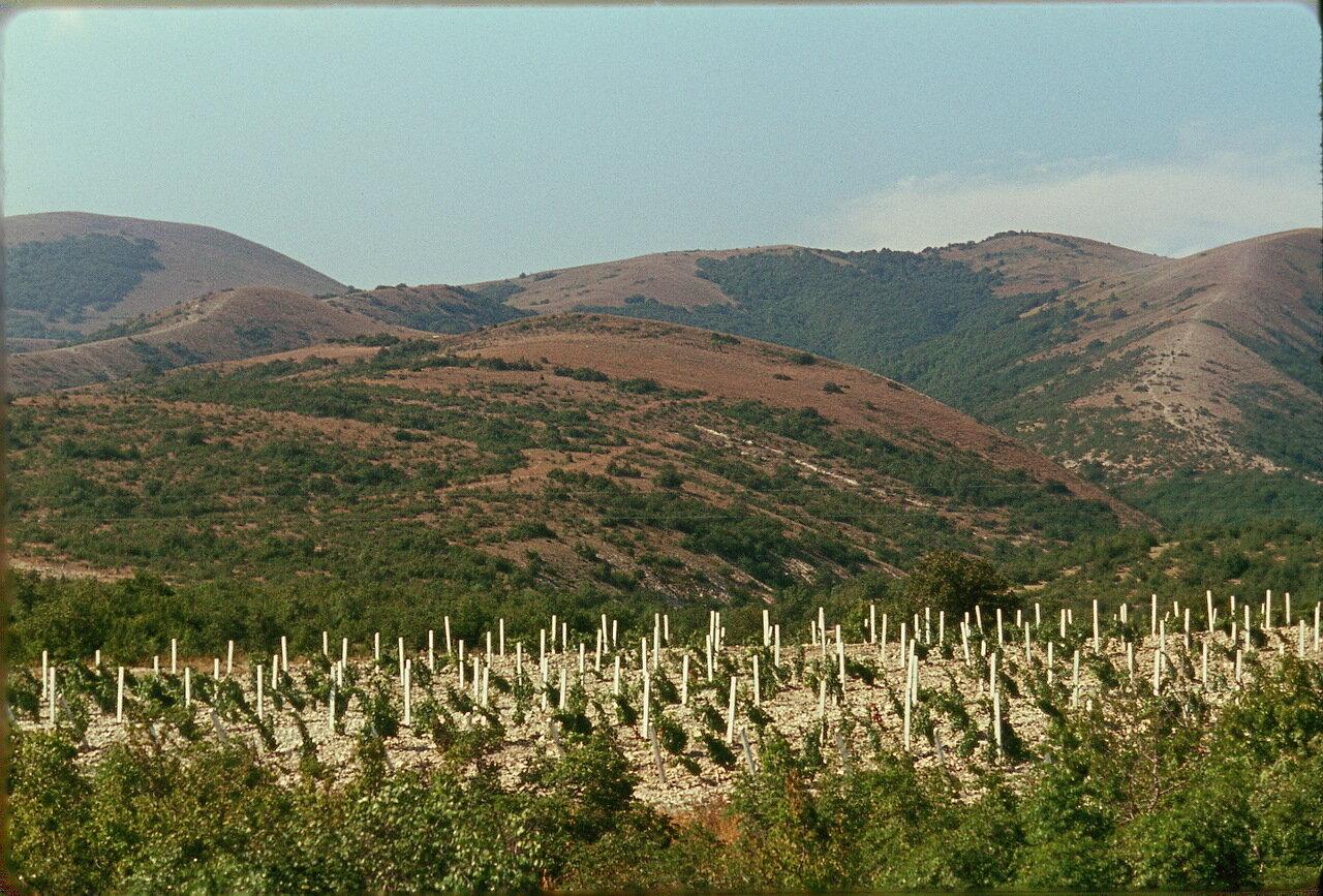 Виноградник возле Кабардинки