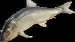 рыба (14).png