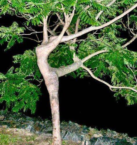 плести фигуры из живых деревьев