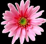 цветы_розовые (4).png