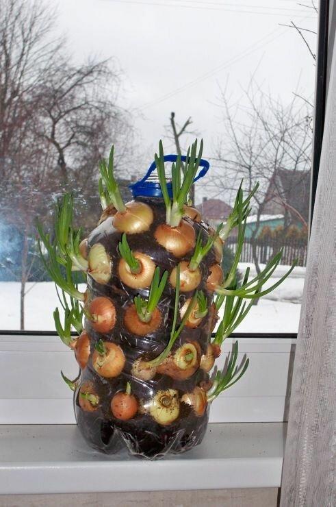 Легкий способ вырастить зеленый лук на подоконнике (3 фото)