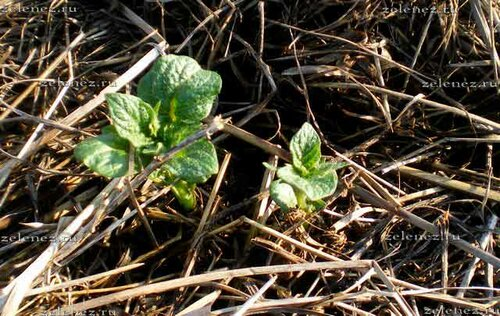 Картофельные ростки  пробивается свозь толстый слой мульчи.