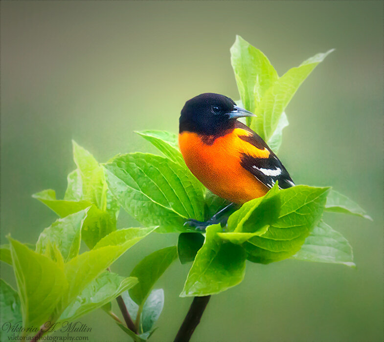 """Northern (""""Baltimore"""") Oriole-2064-3"""