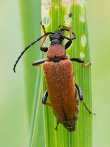 Альбом:  Мир под ногами /  Жесткокрылые или жуки / Cerambycidae - Усачи Автор фото: Владимир Брюхов