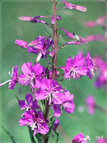 Цветы Иван чая.