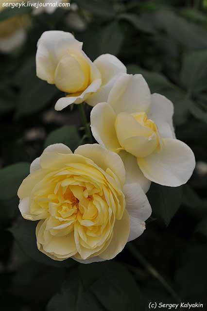 Rosa Vanessa Bell (4).JPG