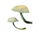 ldavi-paintersfaeries-mushroom6.png
