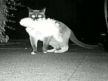 Забавно криминальное видео: Коты клептоманы