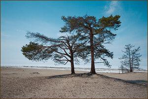 Странные деревья Ольхона
