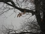 Дубовые листья продержались всю зиму