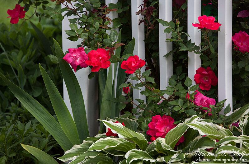 У заборчика, мои розы