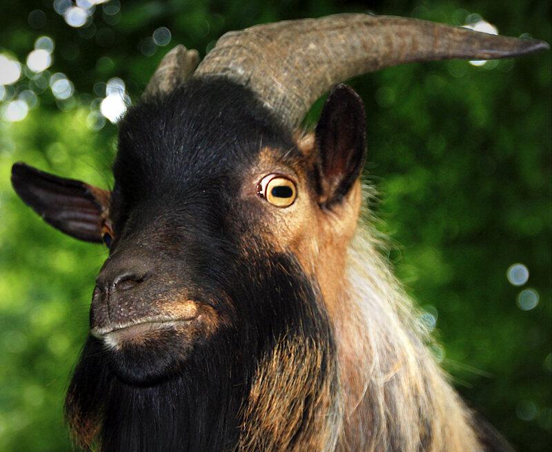 Мудрый козёл