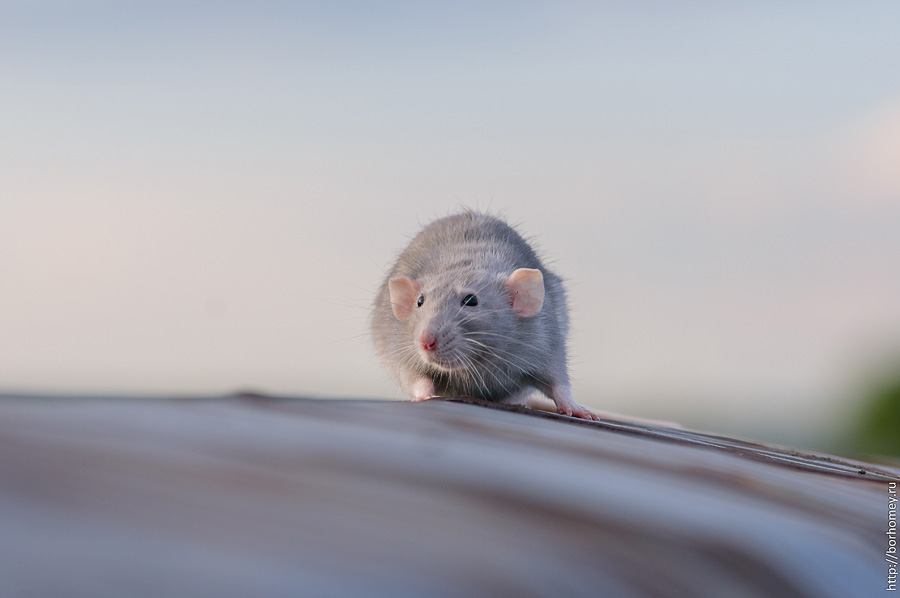 фото крыса на фоне неба