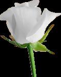 Holliewood_RoseIsARose_Rose10.png
