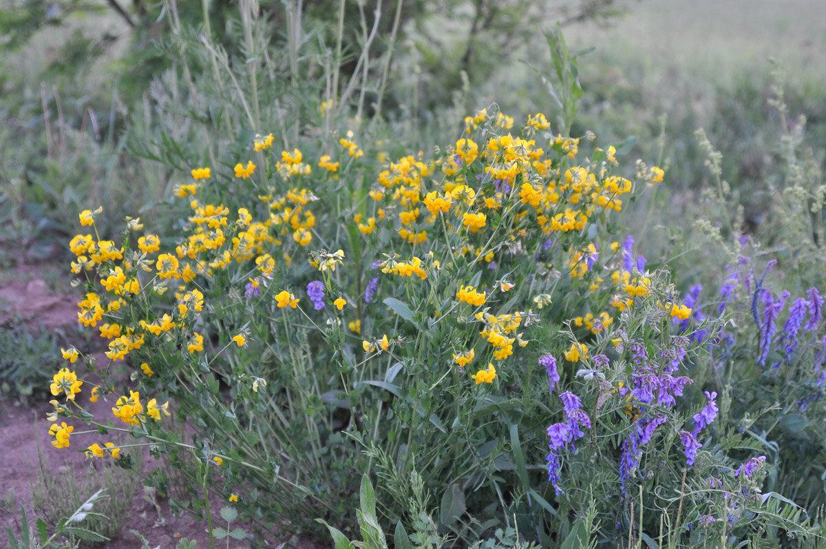 Лядвенец рогатый (Lotus corniculatus) Автор фото: Владимир Брюхов