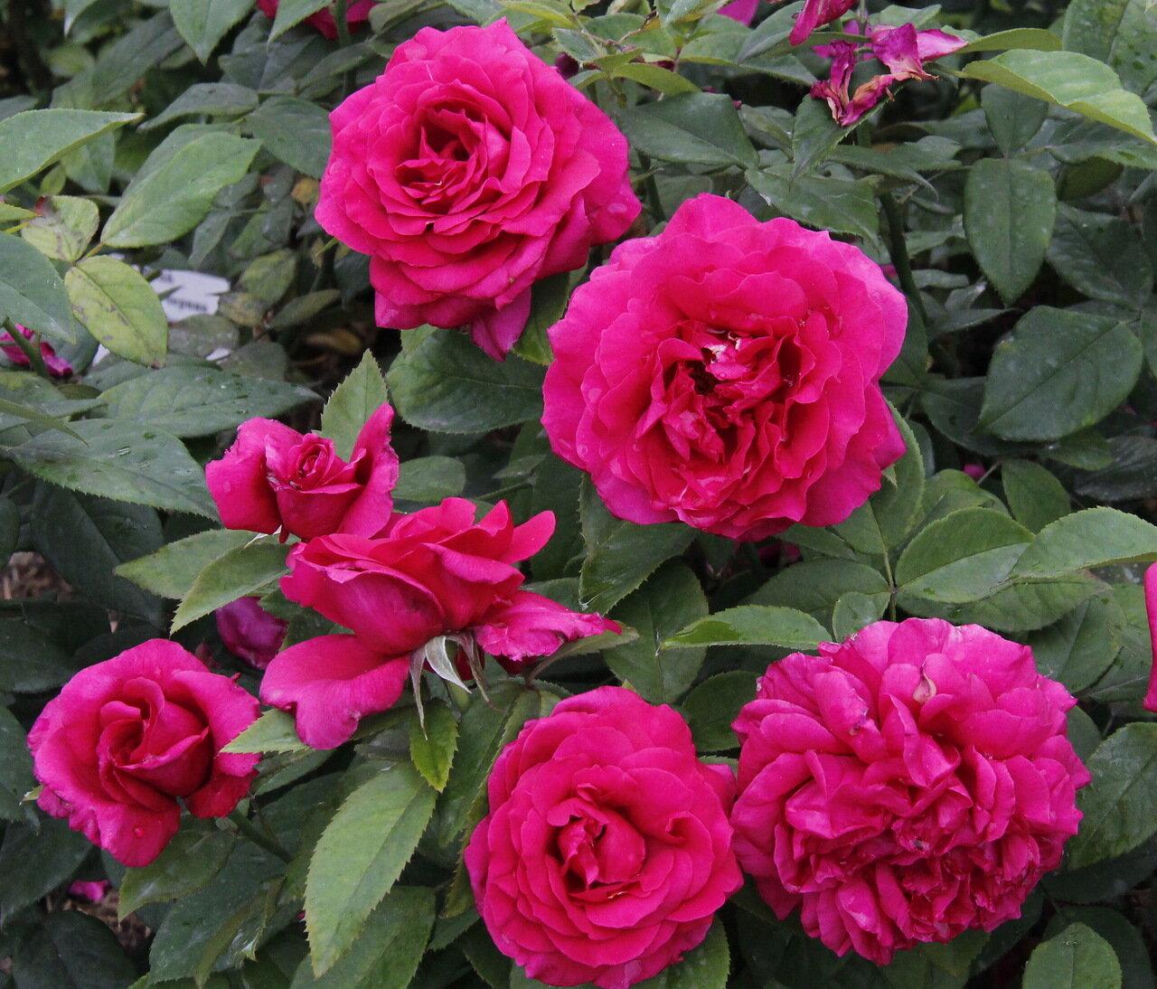 роза грин фото