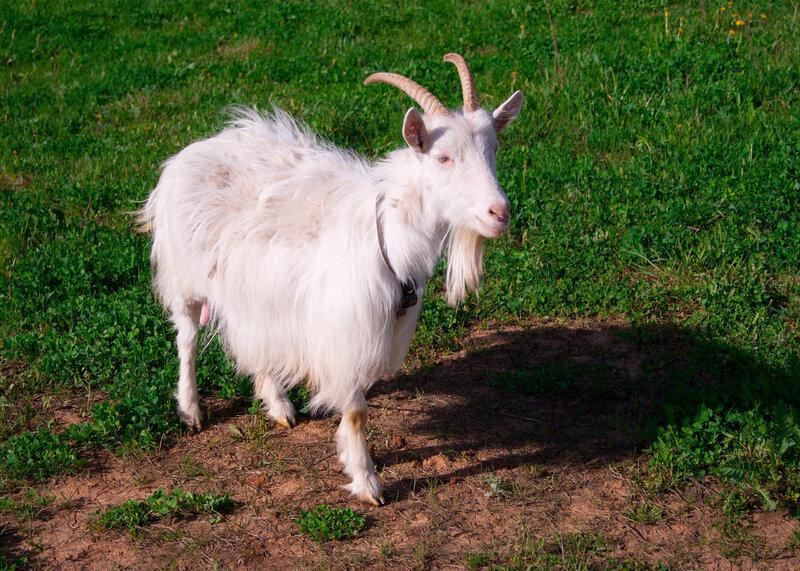 Идет коза рогатая