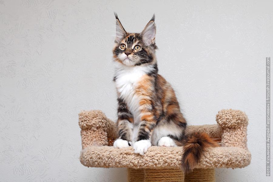 продажа цена котята Мейн-кун