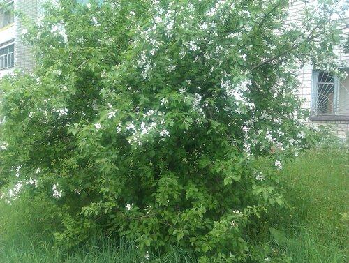 Природа Златоуста - яблоня