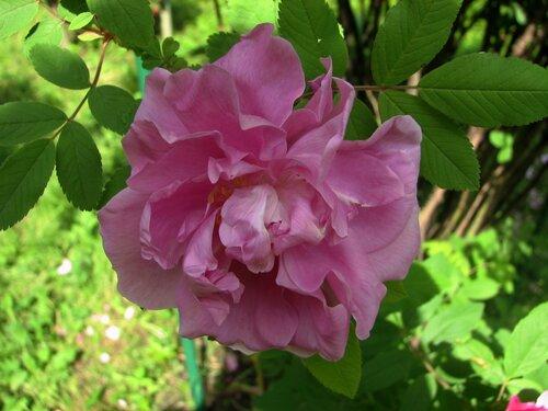 Канадская роза