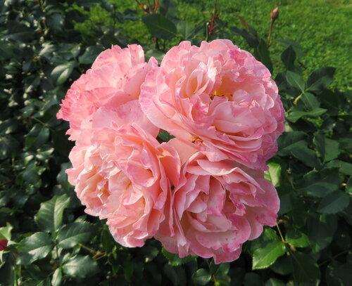 Розовый квартет