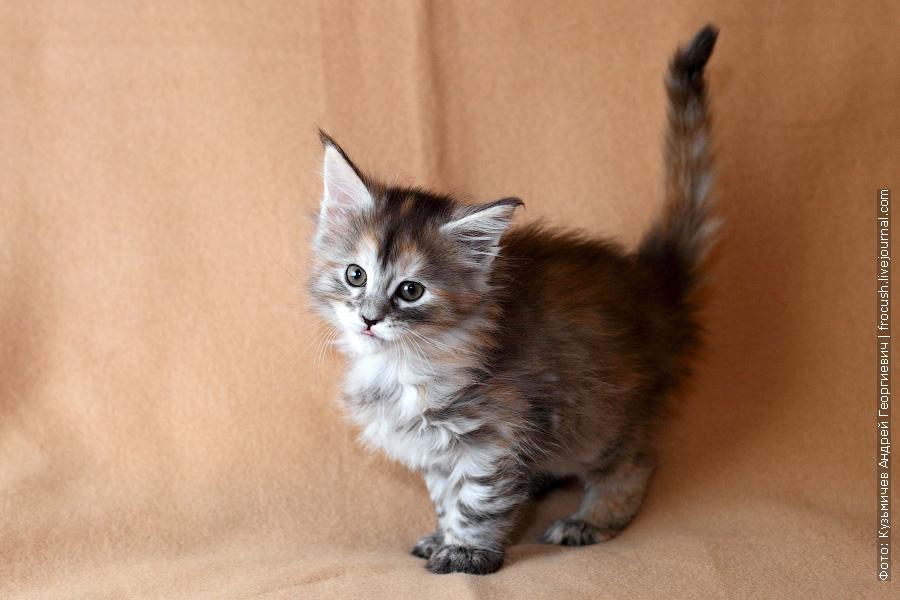 продажа котят Мейн кун