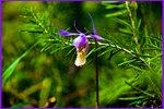 Орхидея Калипсо