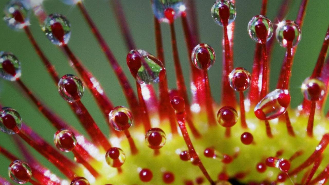 sundew plant eating frog