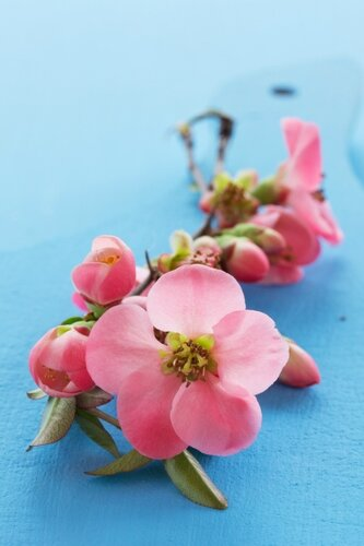 Chaenomeles Pink Lady,ornamental quince