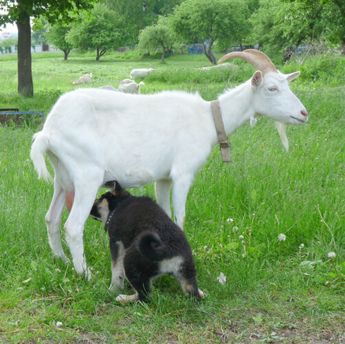 Как щенок козу подоил