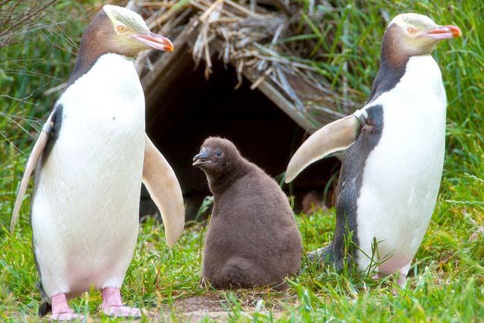 желтоглазые пингвины